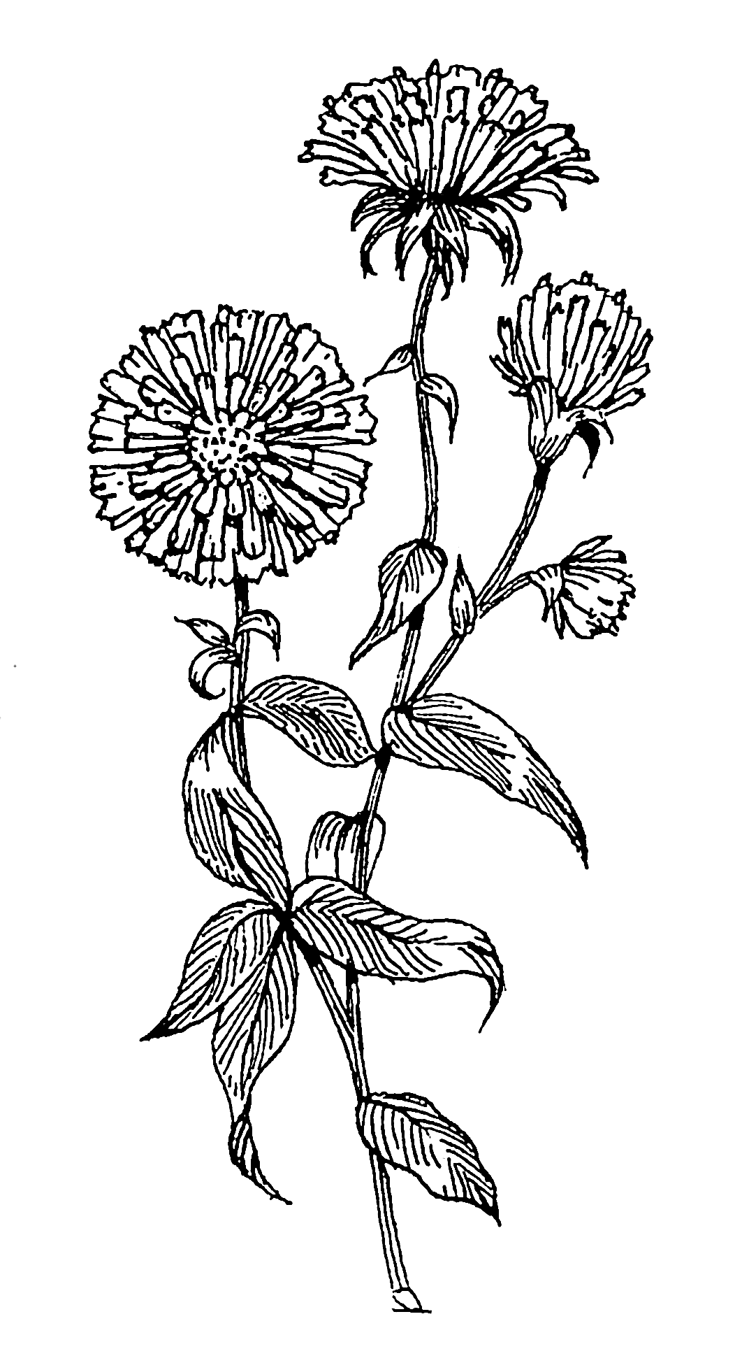 Aster Flower Line Drawing : File aster psf wikimedia commons