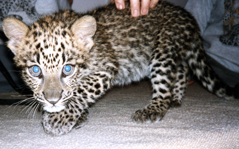 Baby white leopard - photo#27