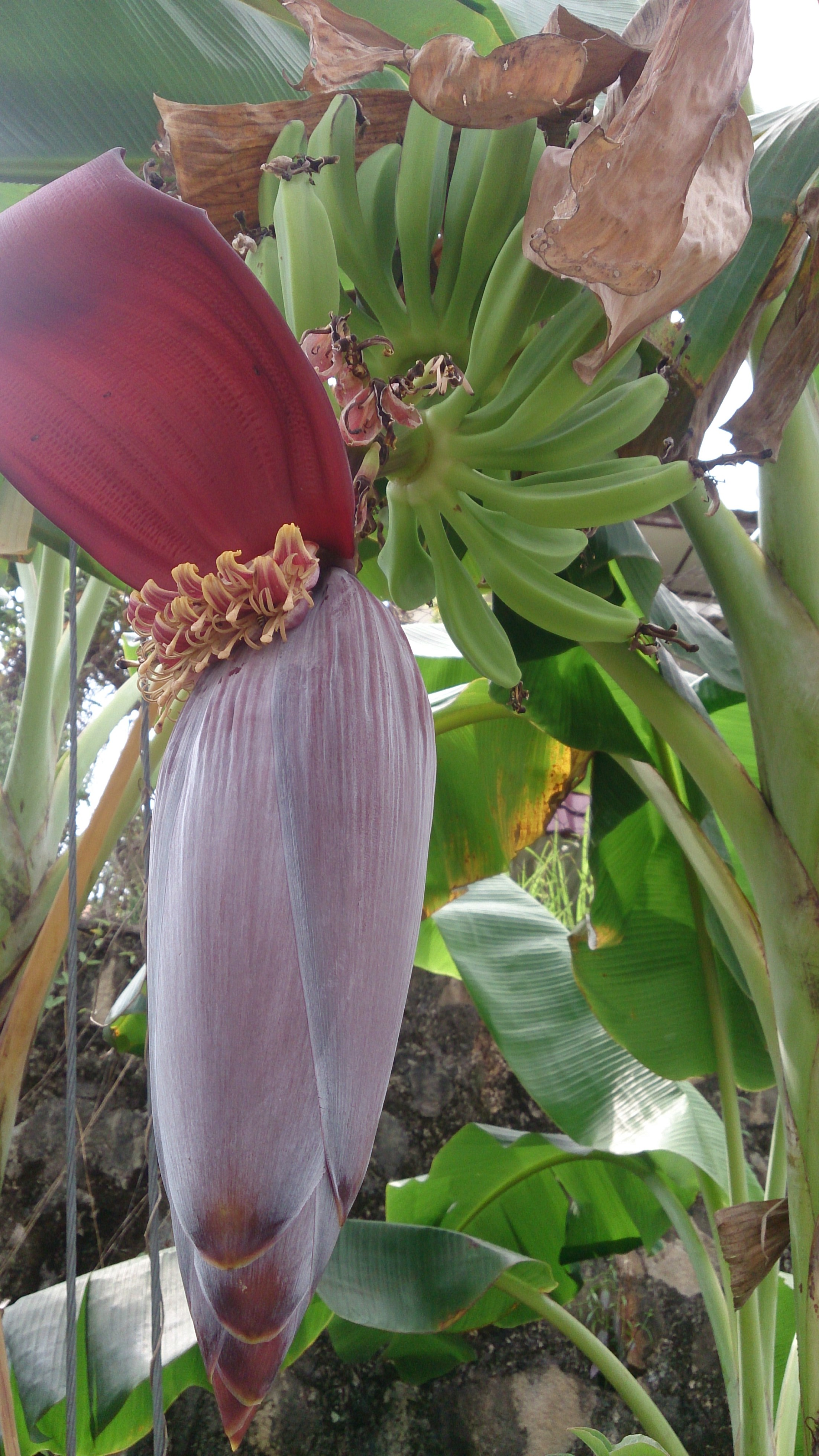 File Banana plant with flower Wikimedia mons