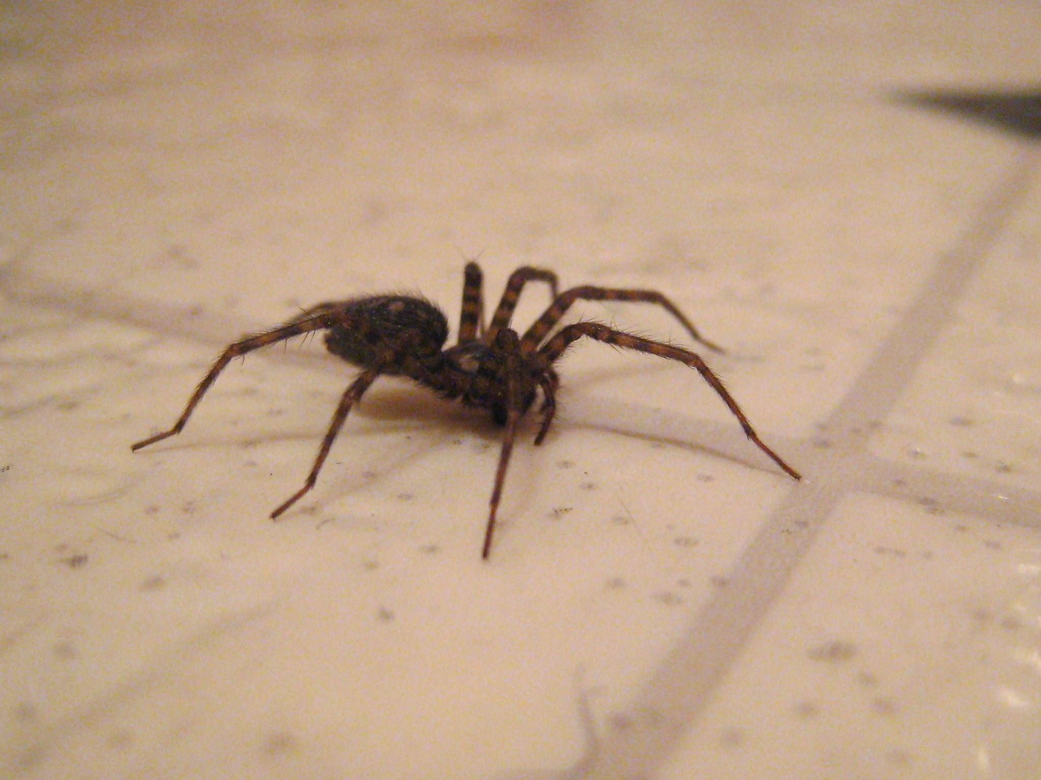File Bathroom Spider Jpg