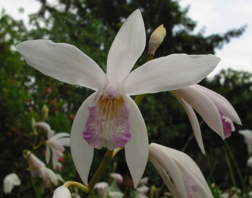 File:Bletilla striata.jpg - Wikimedia Commons