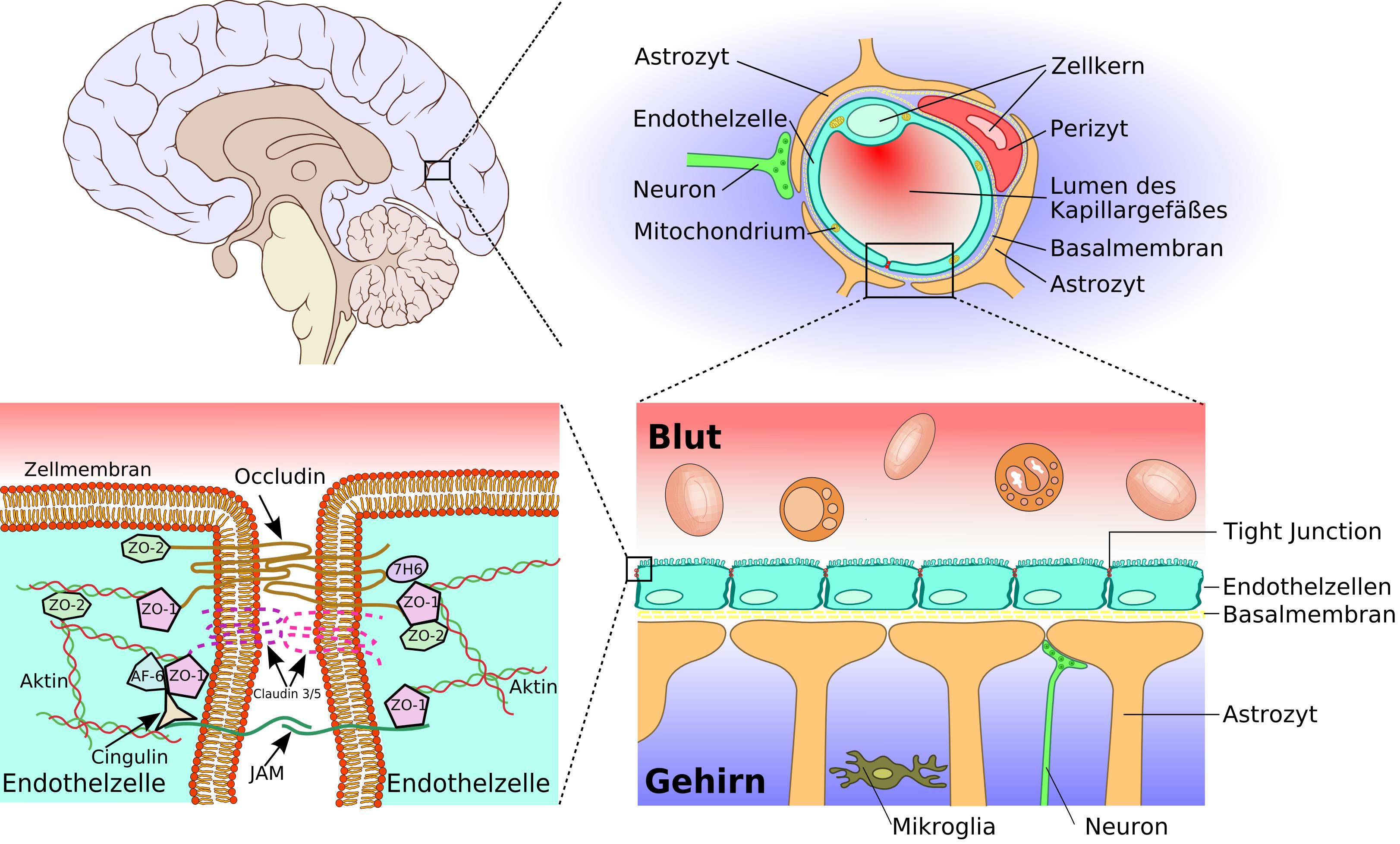 Fichier Blood Brain Barrier 02 Png Wikipedia