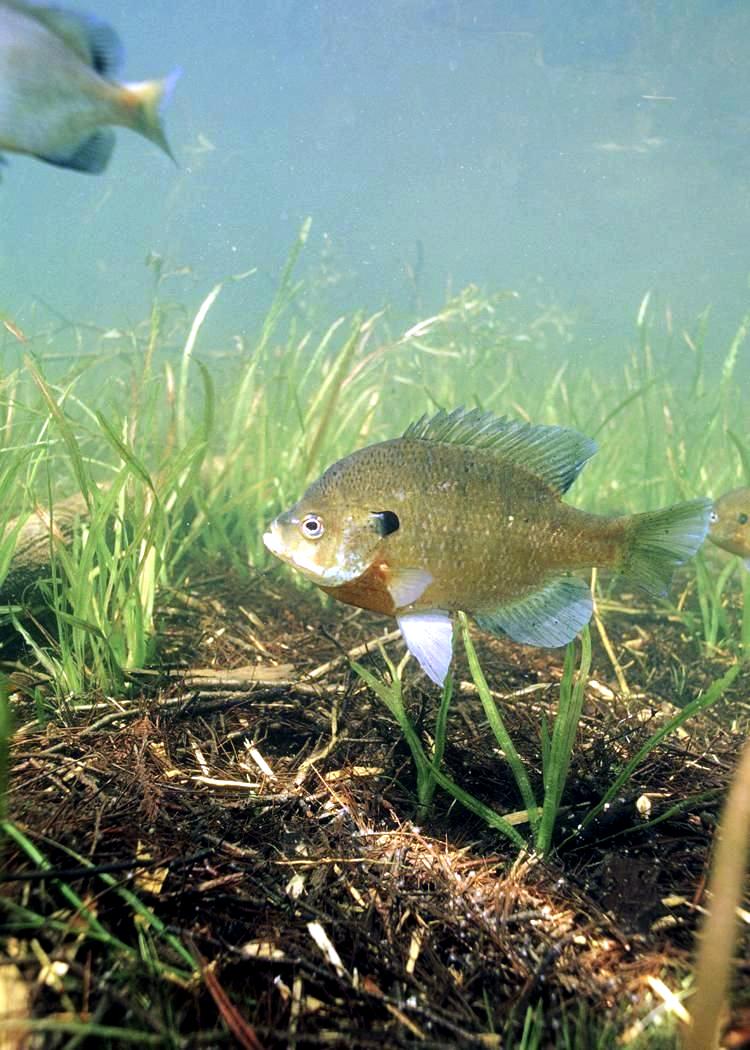 Using live bait bass fishing basics by brandon for Blue gill fishing