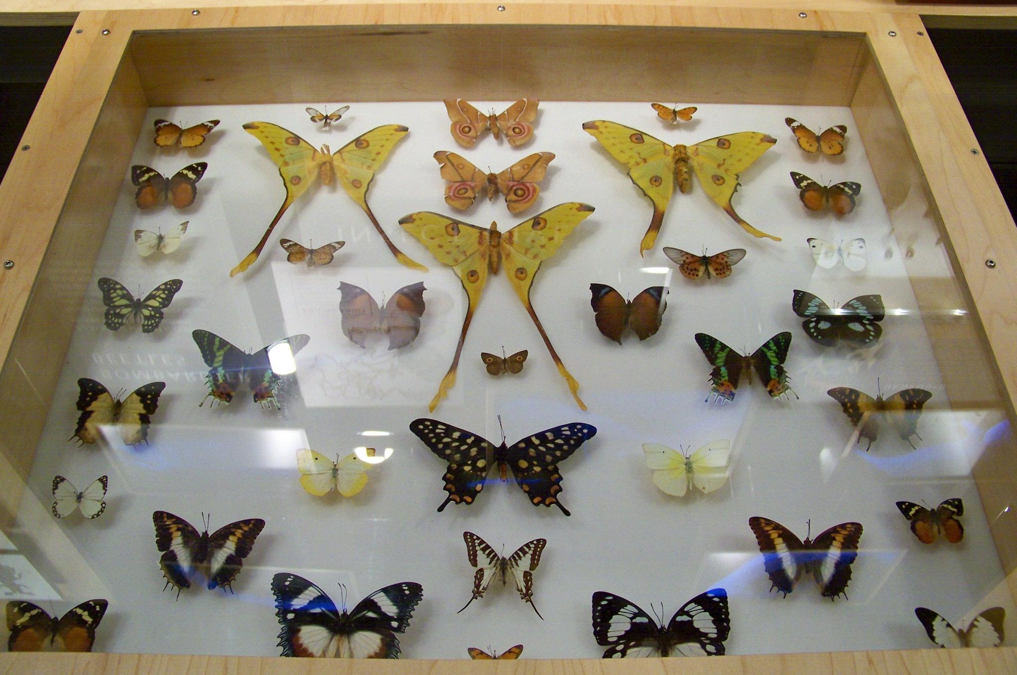 Как сделать бабочку под стеклом