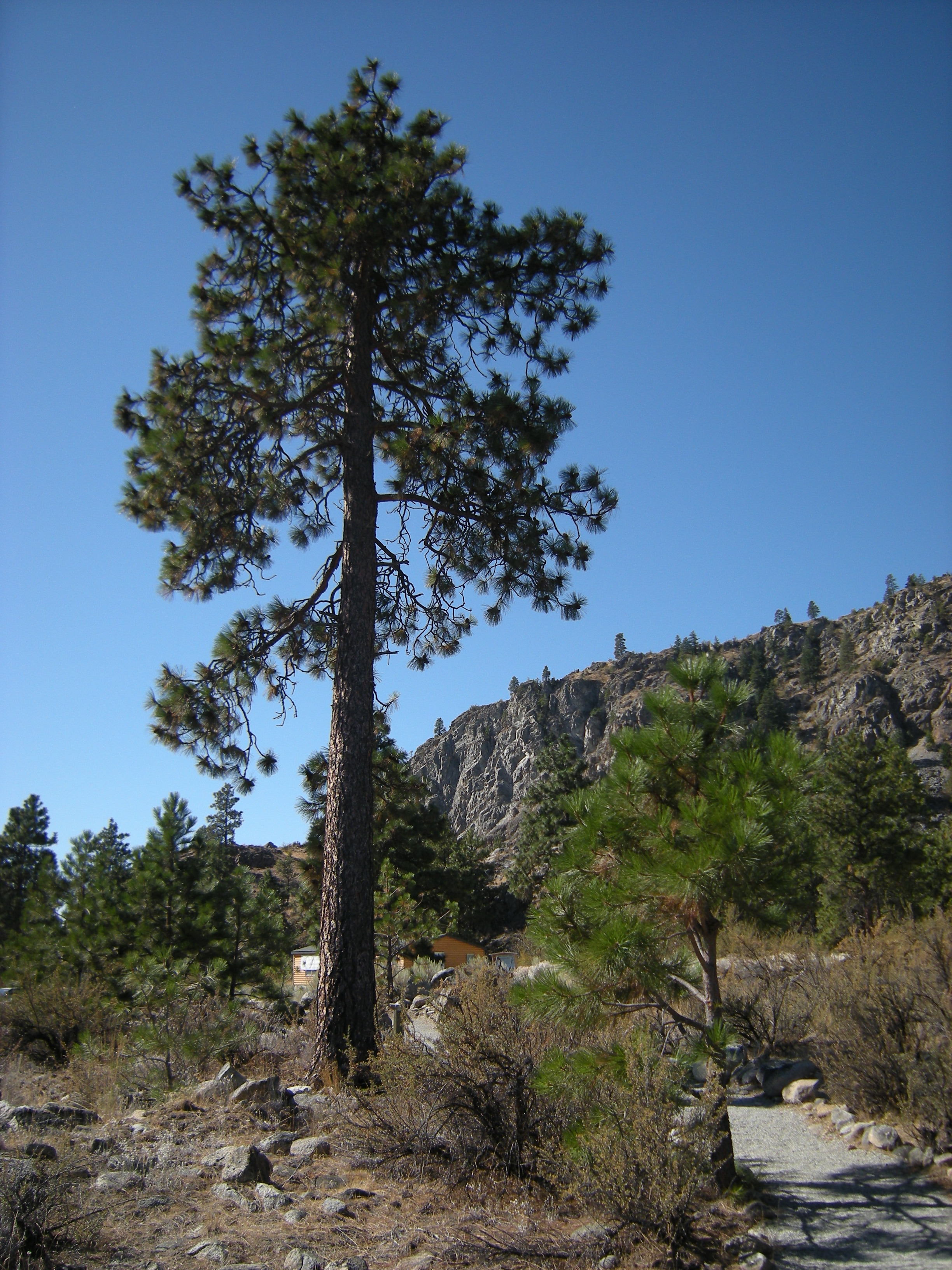 Ponderosa pine video search engine at Pine tree timber