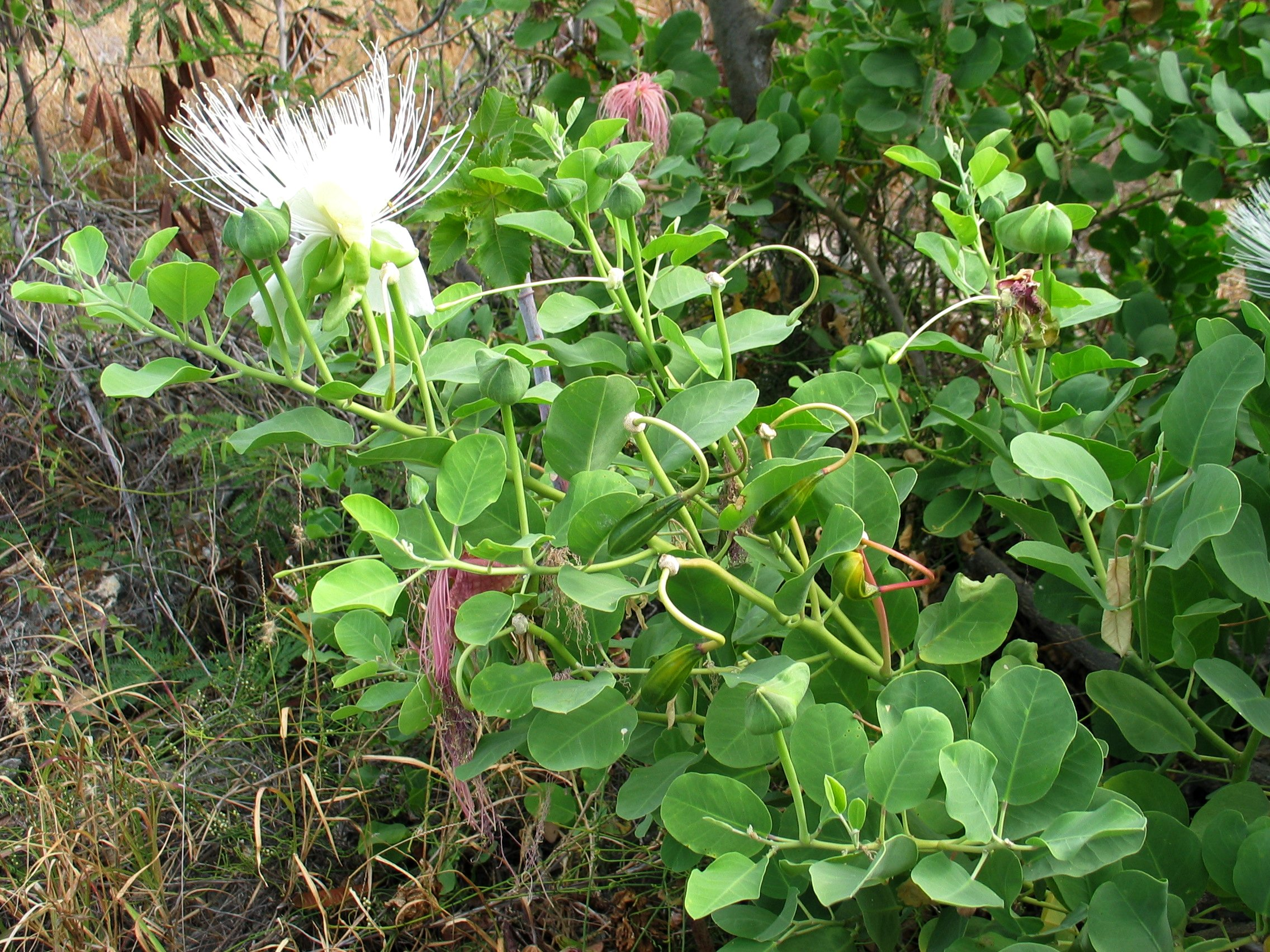 Capparis sandwichiana Flowering & Fruiting (5209429101).jpg
