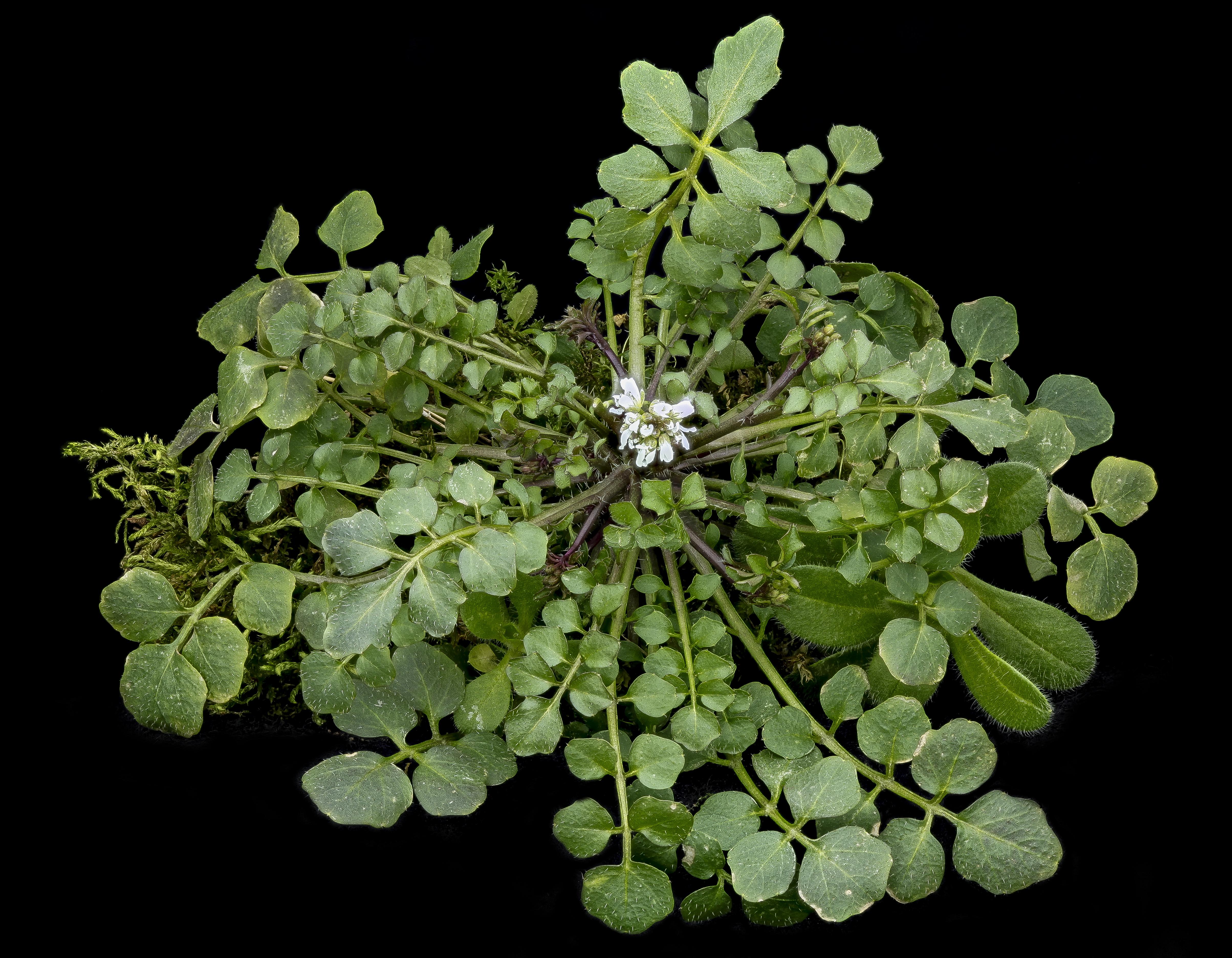 Bonnes croquer ces surprenantes mauvaises herbes la for Mauvaises herbes du jardin photos