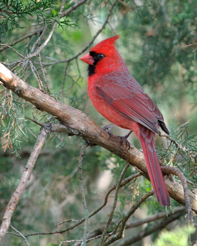 northern cardinal wikipedia