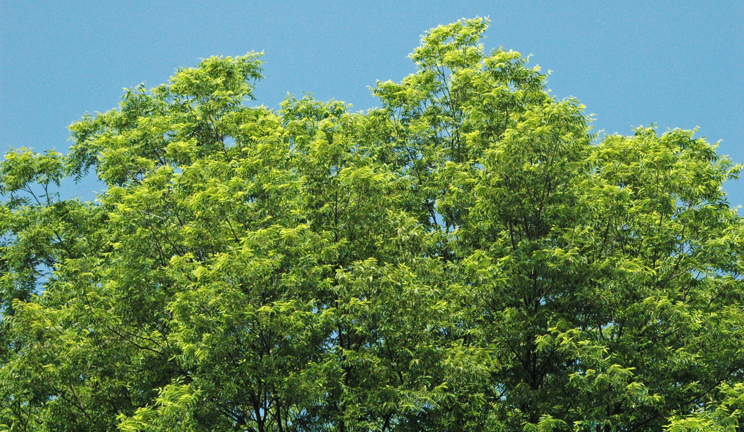Carya illinoinensis (pecan tree) 2