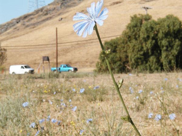 File:Chicory-m.jpg