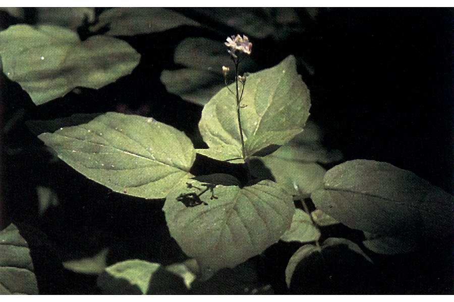 Circaea alpina.jpg © Joe F. Duft (Wikimedia Commons - PD USDA NRCS)