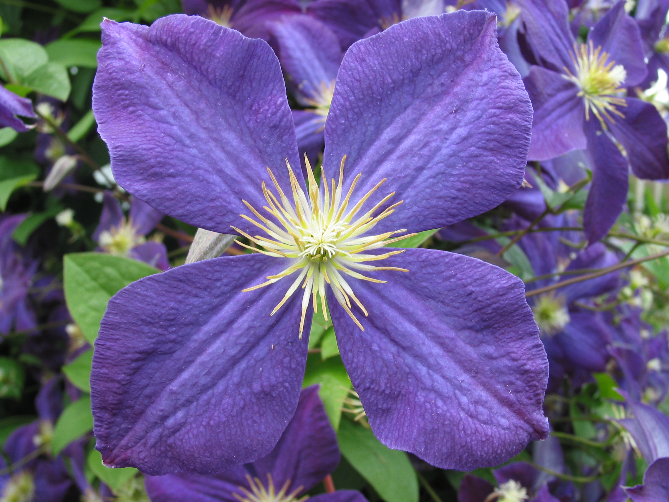 file clematis jackmanii 2 jpg wikimedia commons. Black Bedroom Furniture Sets. Home Design Ideas