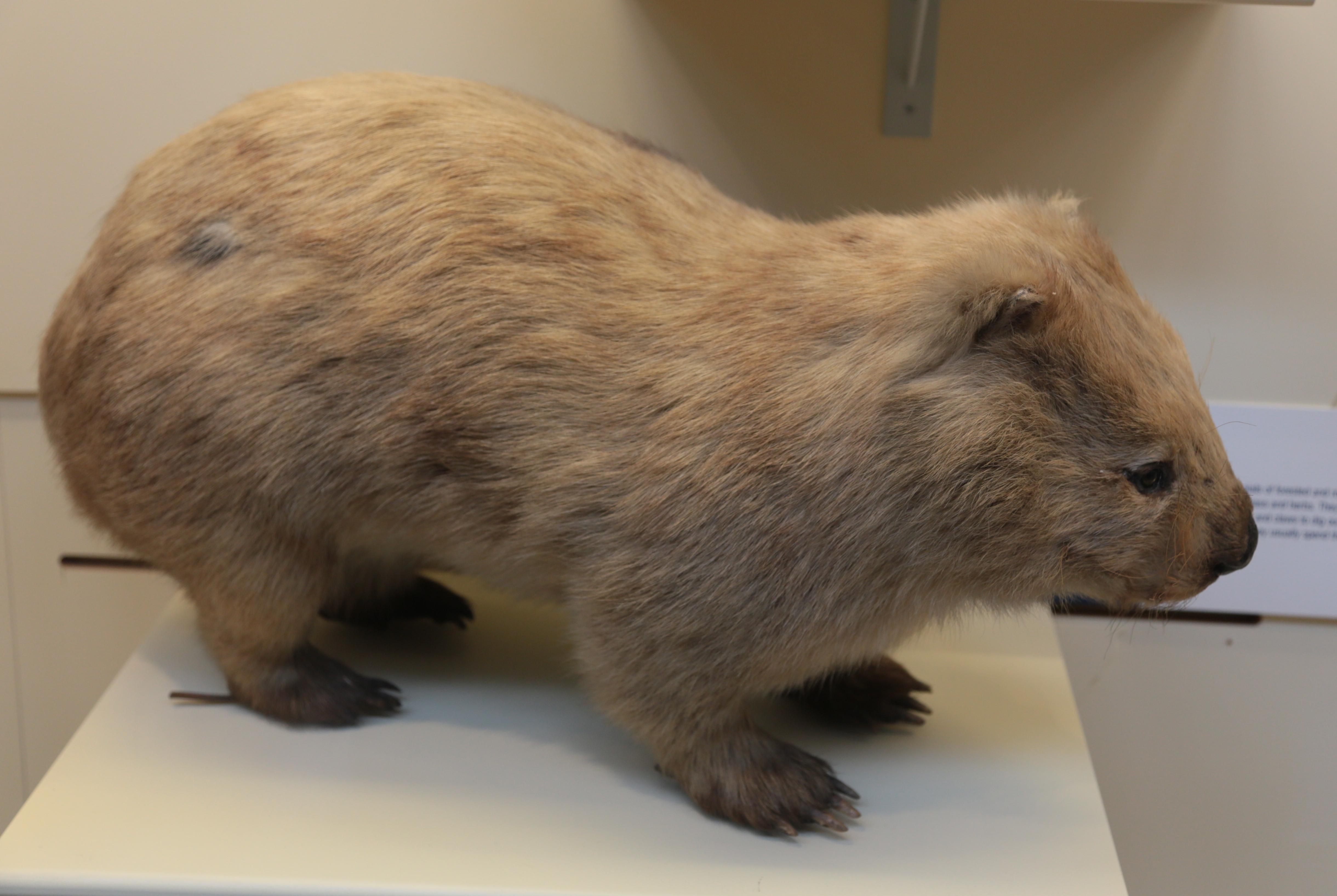 Wombat Natural History Museum