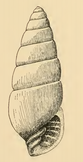 Cossmannica jacksonensis 001.png
