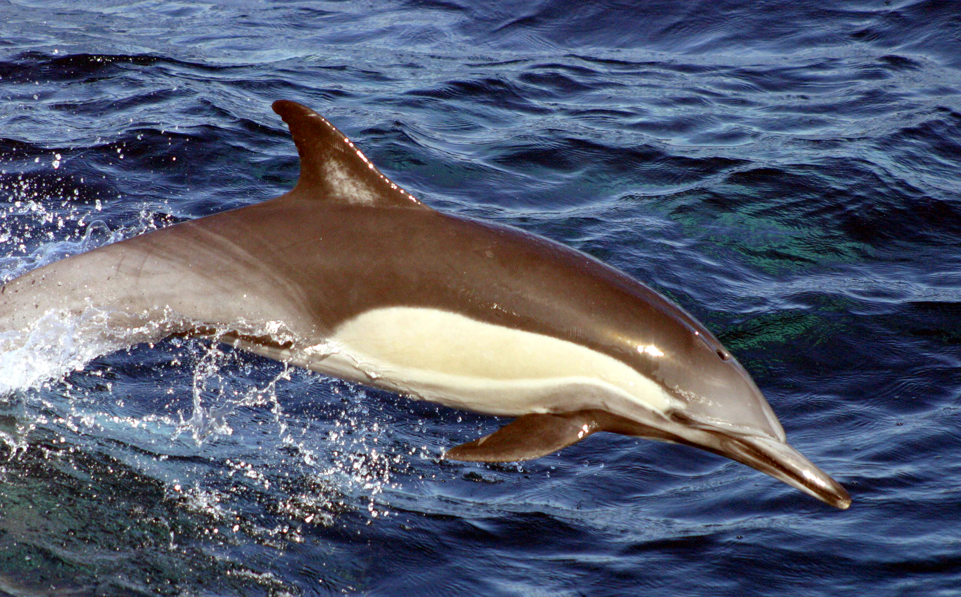 Long-beaked common dolphin - Wikipedia