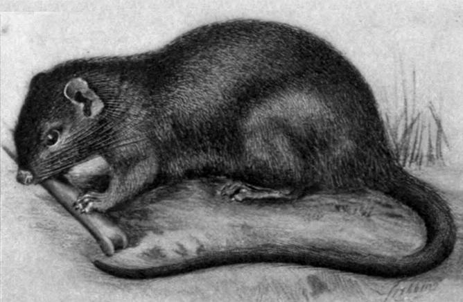 The average litter size of a Rufous soft-furred spiny rat is 1