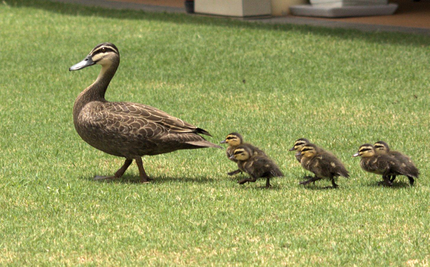 https://upload.wikimedia.org/wikipedia/commons/d/d8/Duck_%26_Ducklings_Morning_Walk.jpg