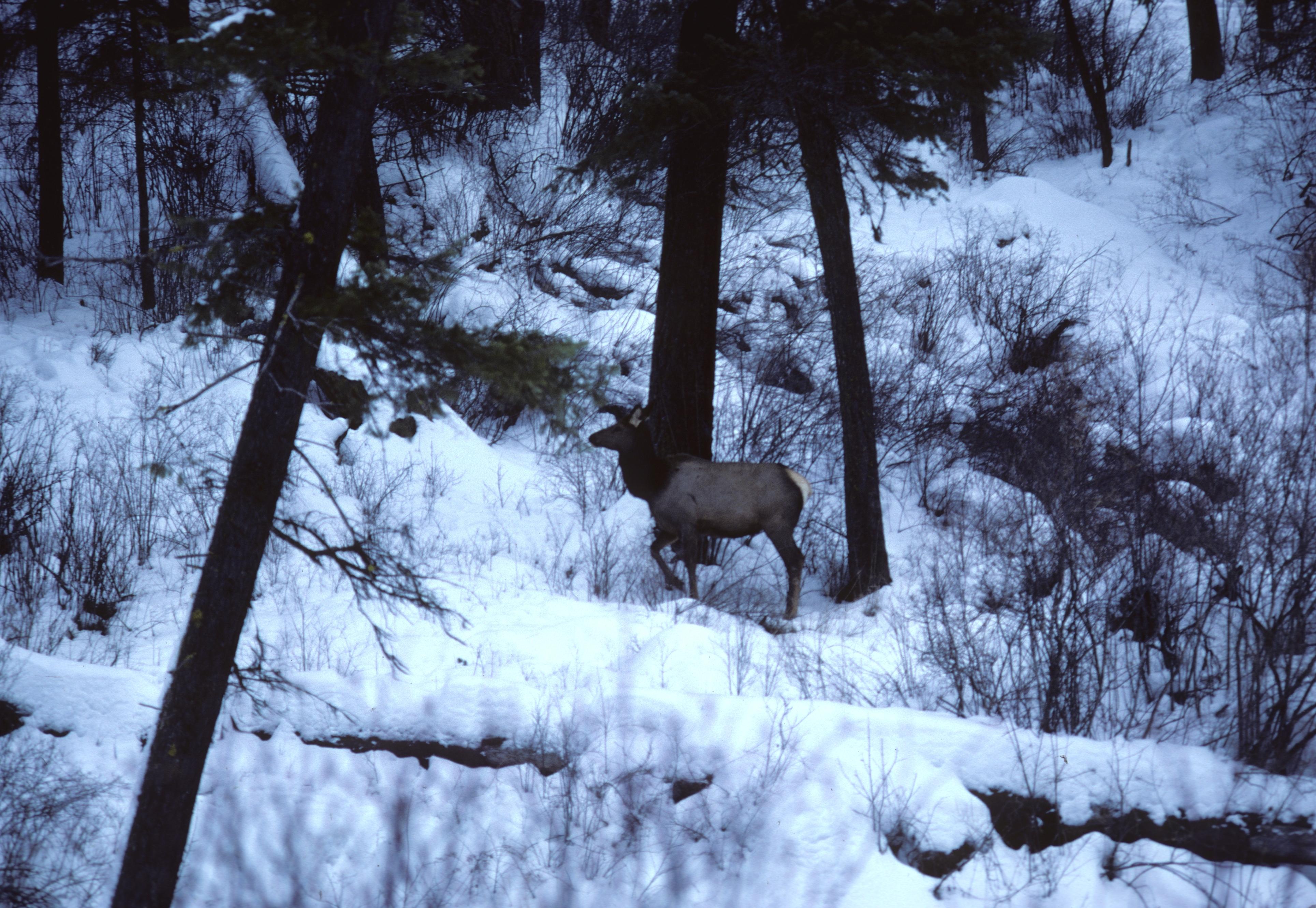 Elk_Wintering_Near_Camas_Creek_Oregon%2C.jpg