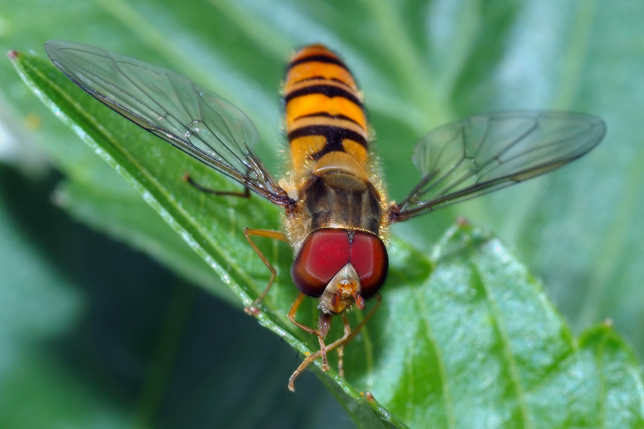 Hyttysen purema kesto