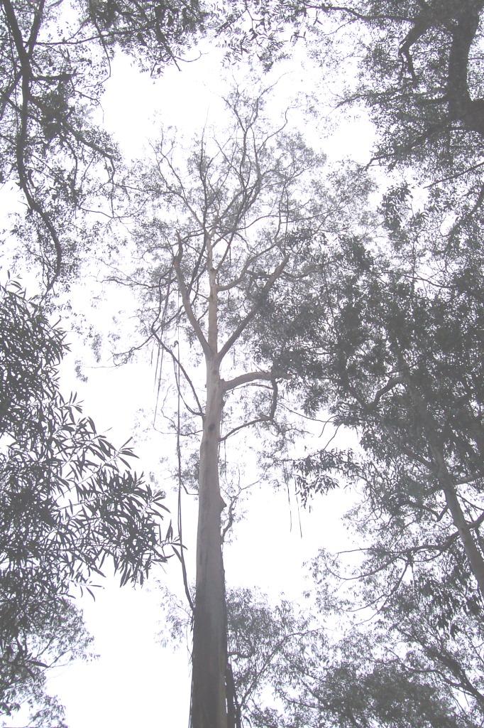 Eucalyptus Oil For Natural Hair