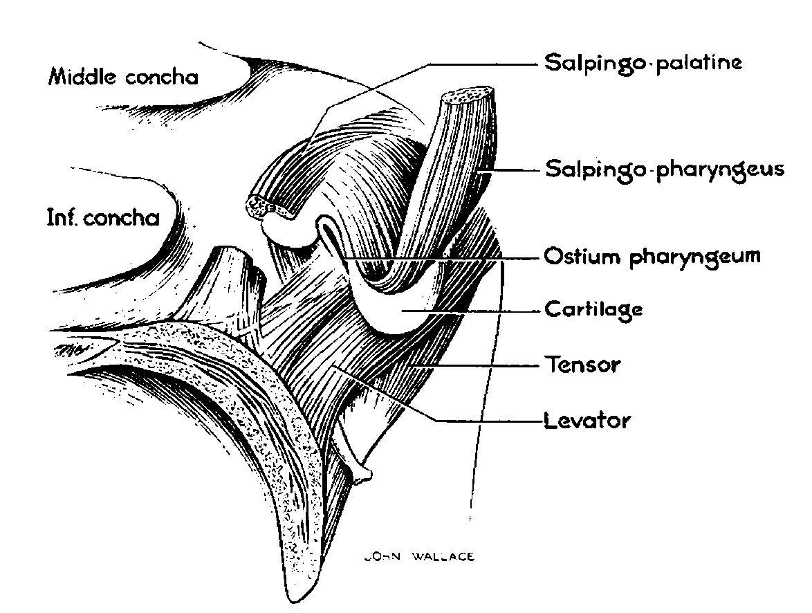 File:Eustachian tube muscles dissection.jpg - Wikimedia Commons