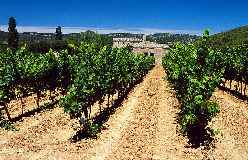 A vineyard in the Penedès region.