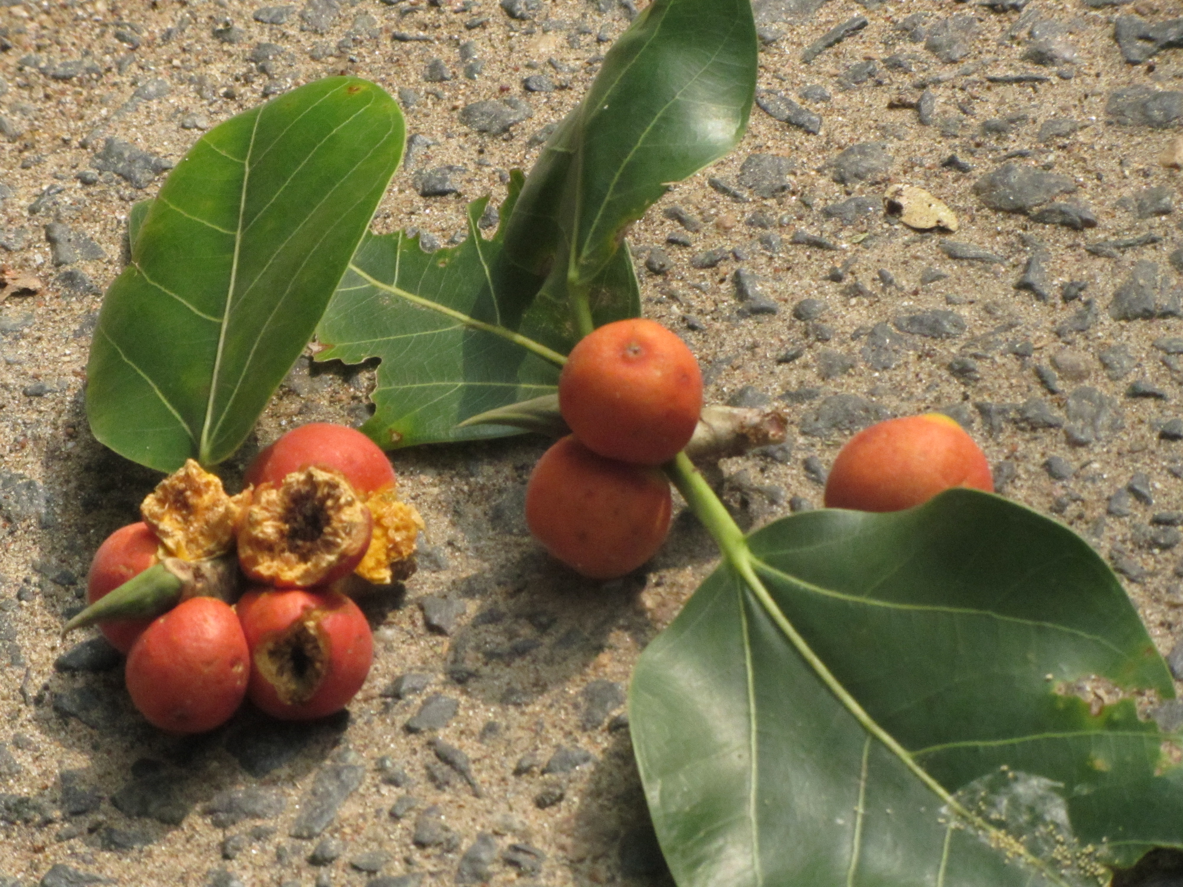 File:Fruits of banyan tree JPG - Wikimedia Commons