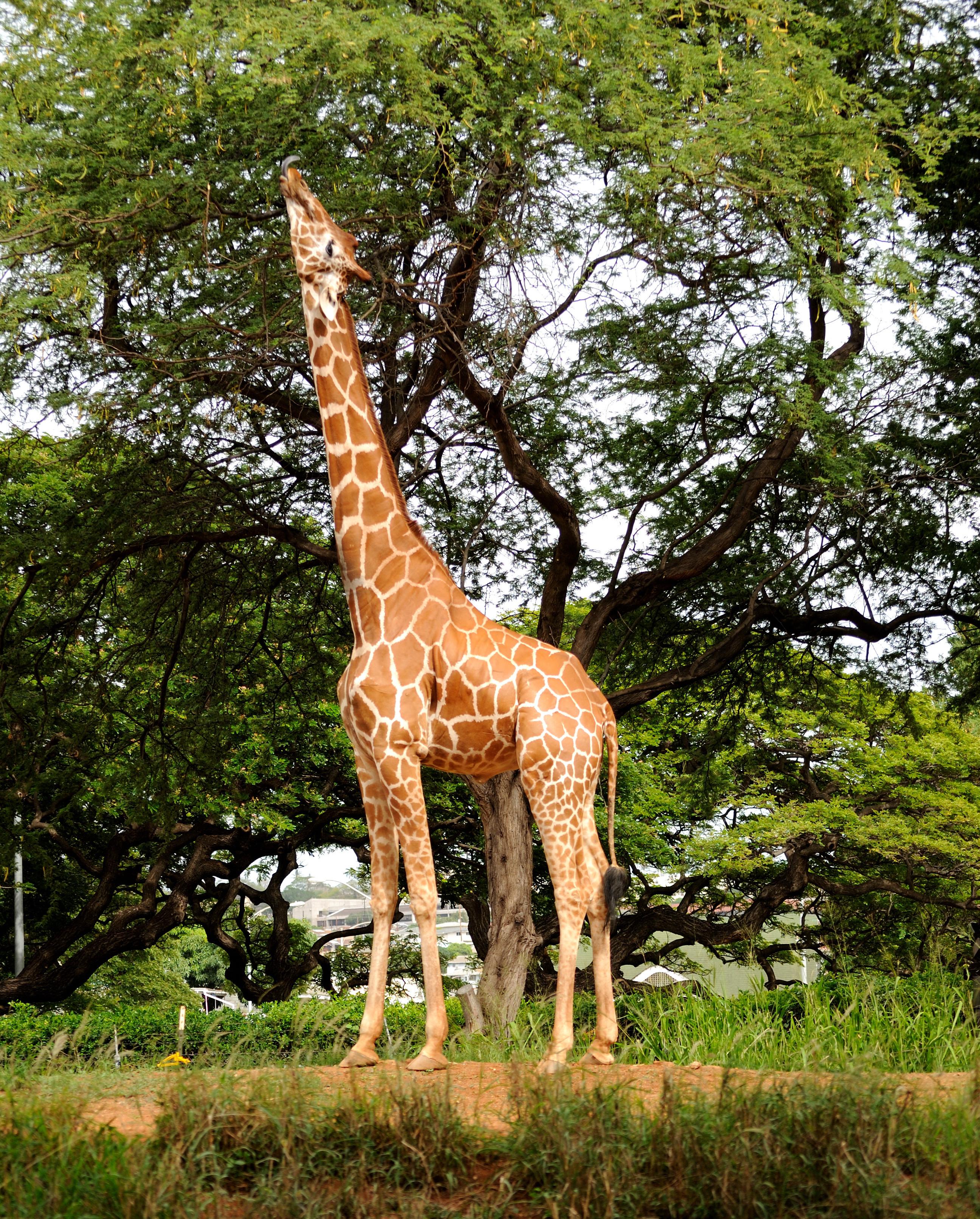 Giraffa Rosensin