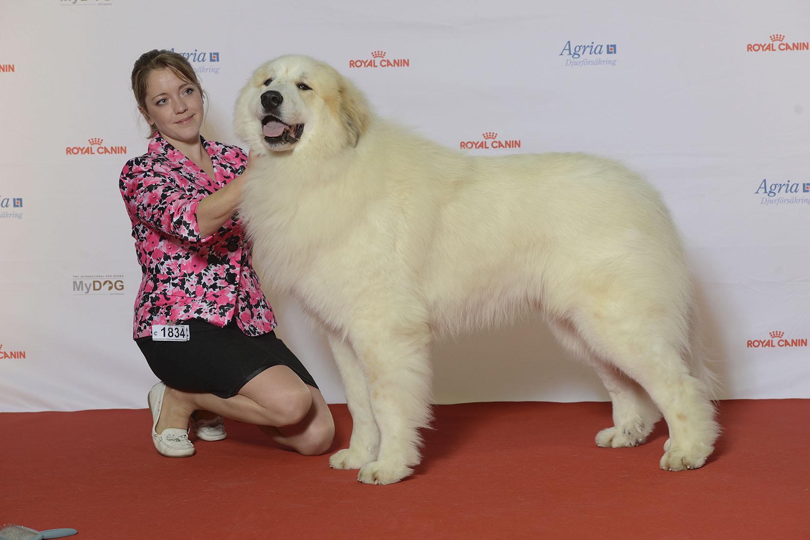 Världens största hund - Pyreneerhund