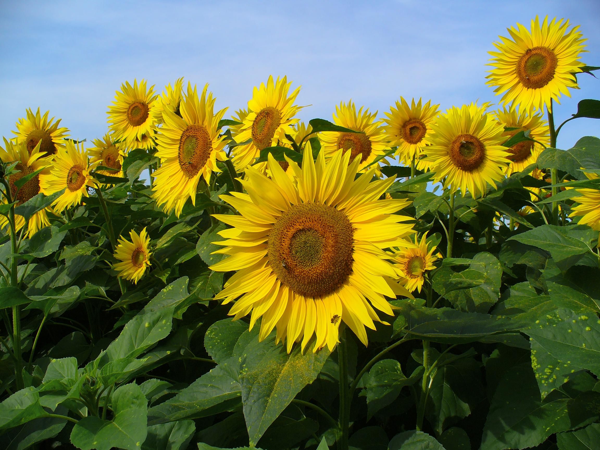 Helianthus giganteus tall sunflower Go Botany