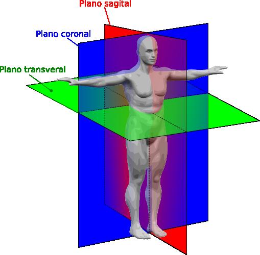 Plano anatómico – Wikipédia, a enciclopédia livre