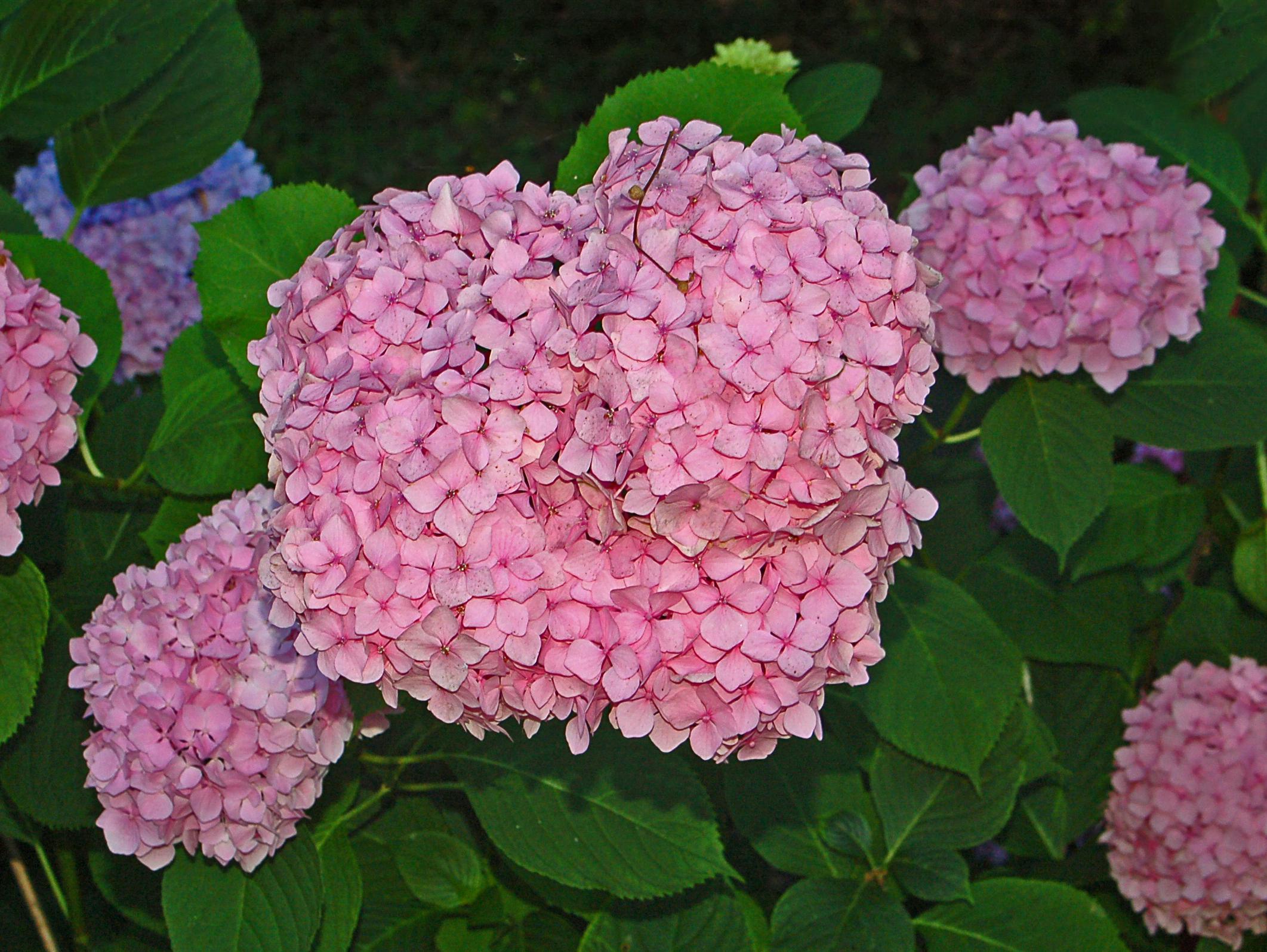 Цветы гортензия фото описание
