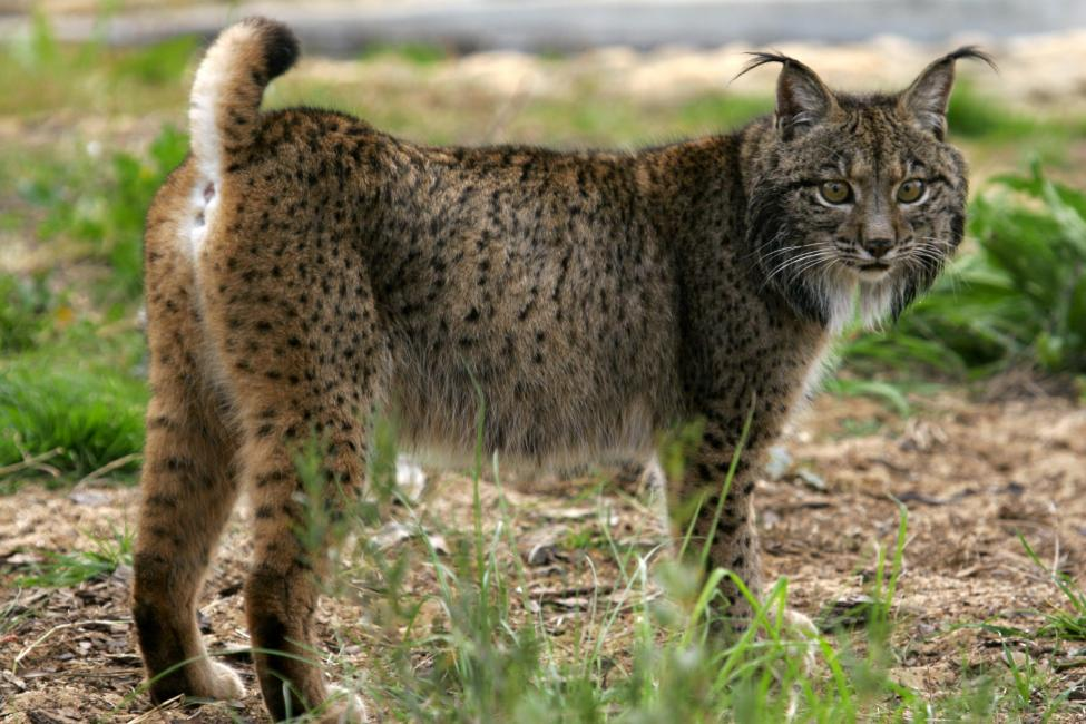 By http://www.lynxexsitu.es - http://www.lynxexsitu.es/index.php?accion=fotos&id=16#lince, CC BY 3.0 es, https://commons.wikimedia.org/w/index.php?curid=27381736