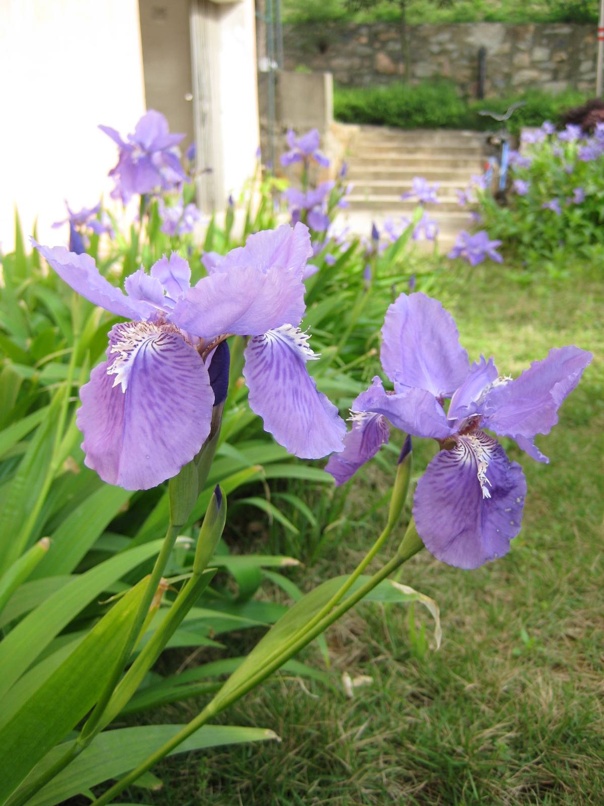 Iris tectorum - Wikipedia: https://en.wikipedia.org/wiki/Iris_tectorum