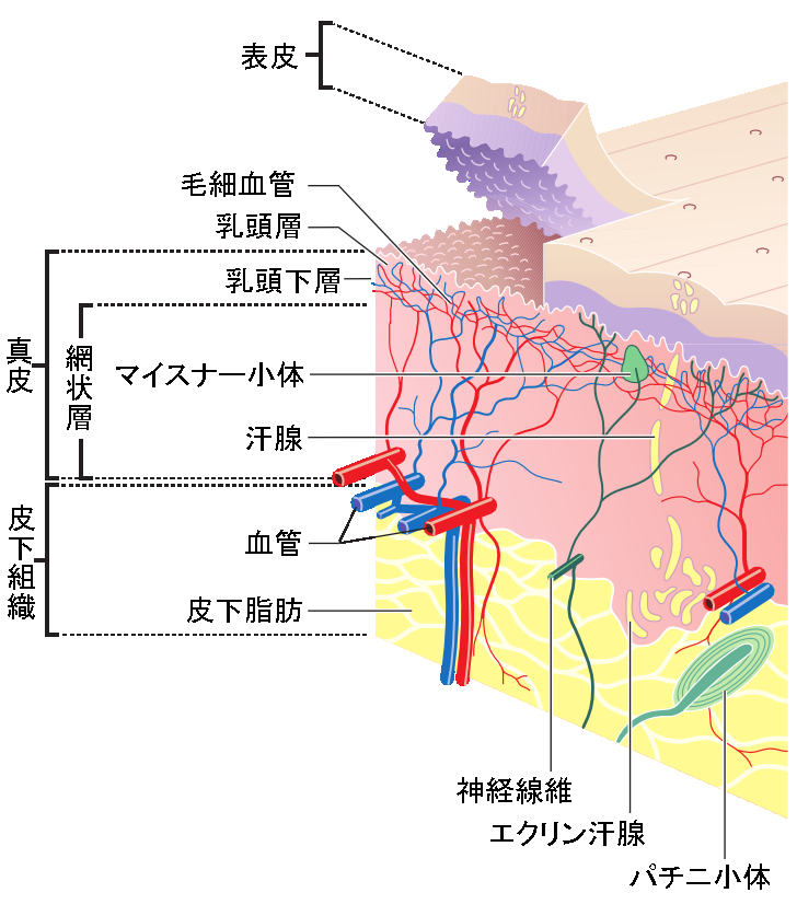 Skin Anatomy Wikipedia