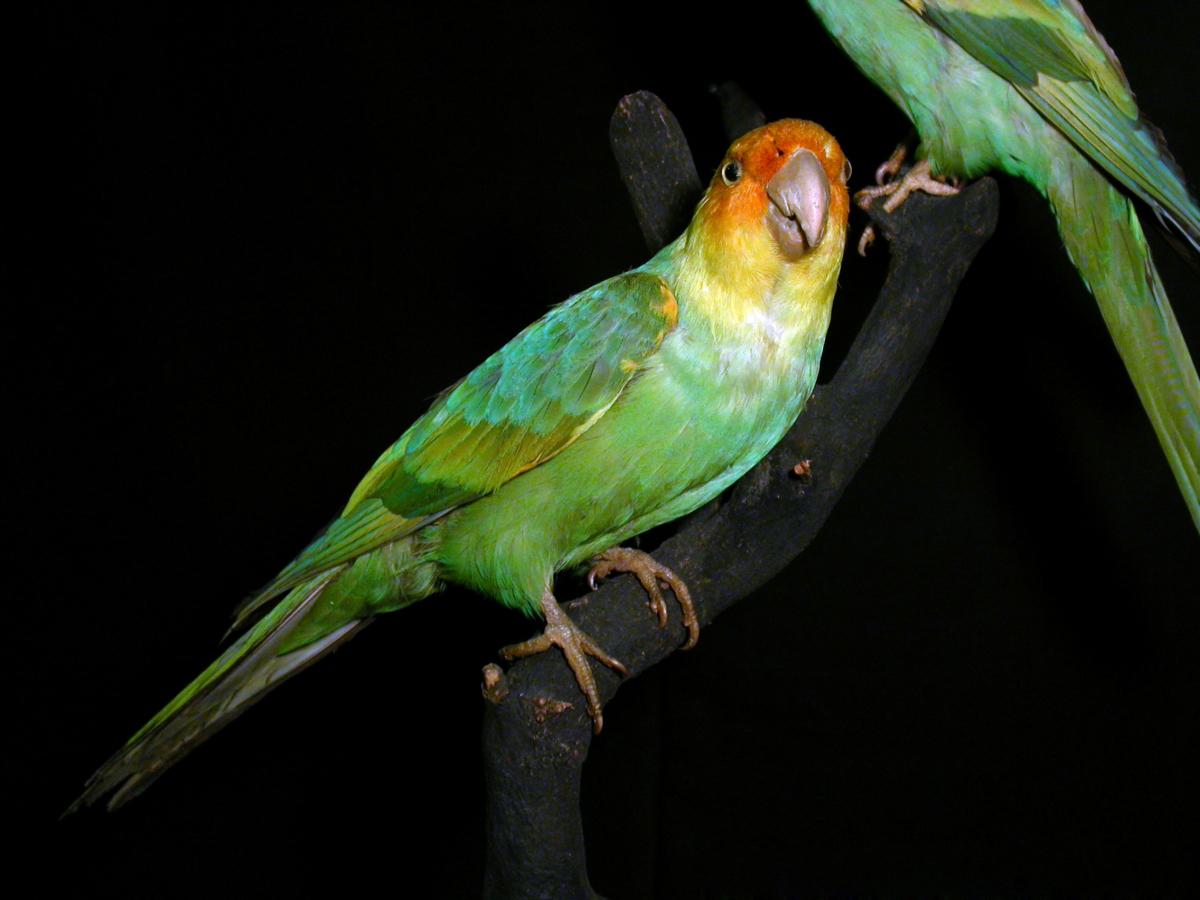 Carolina Parakeet