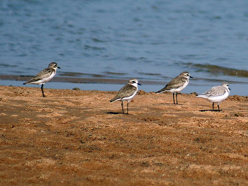 Ficheiro:Lesser Sand Ploverwith Sanderling I IMG 9382.jpg