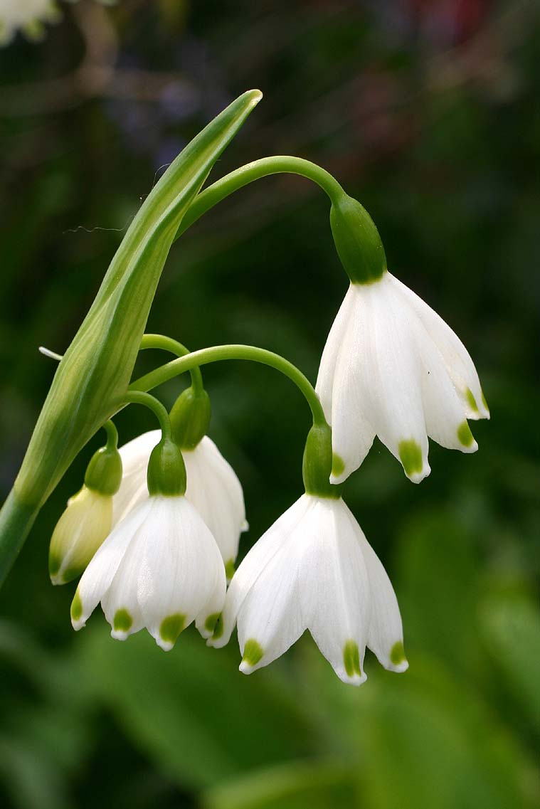 File leucojum giant or summer snowflake in flower hshire uk