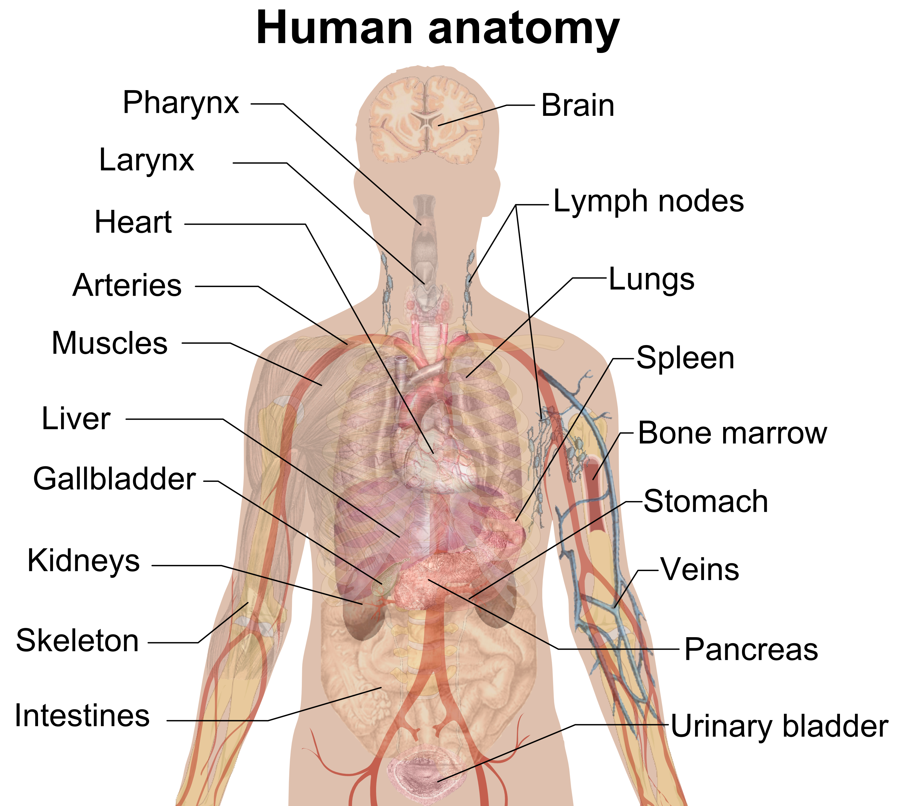 Fileman shadow anatomyg wikimedia commons fileman shadow anatomyg ccuart