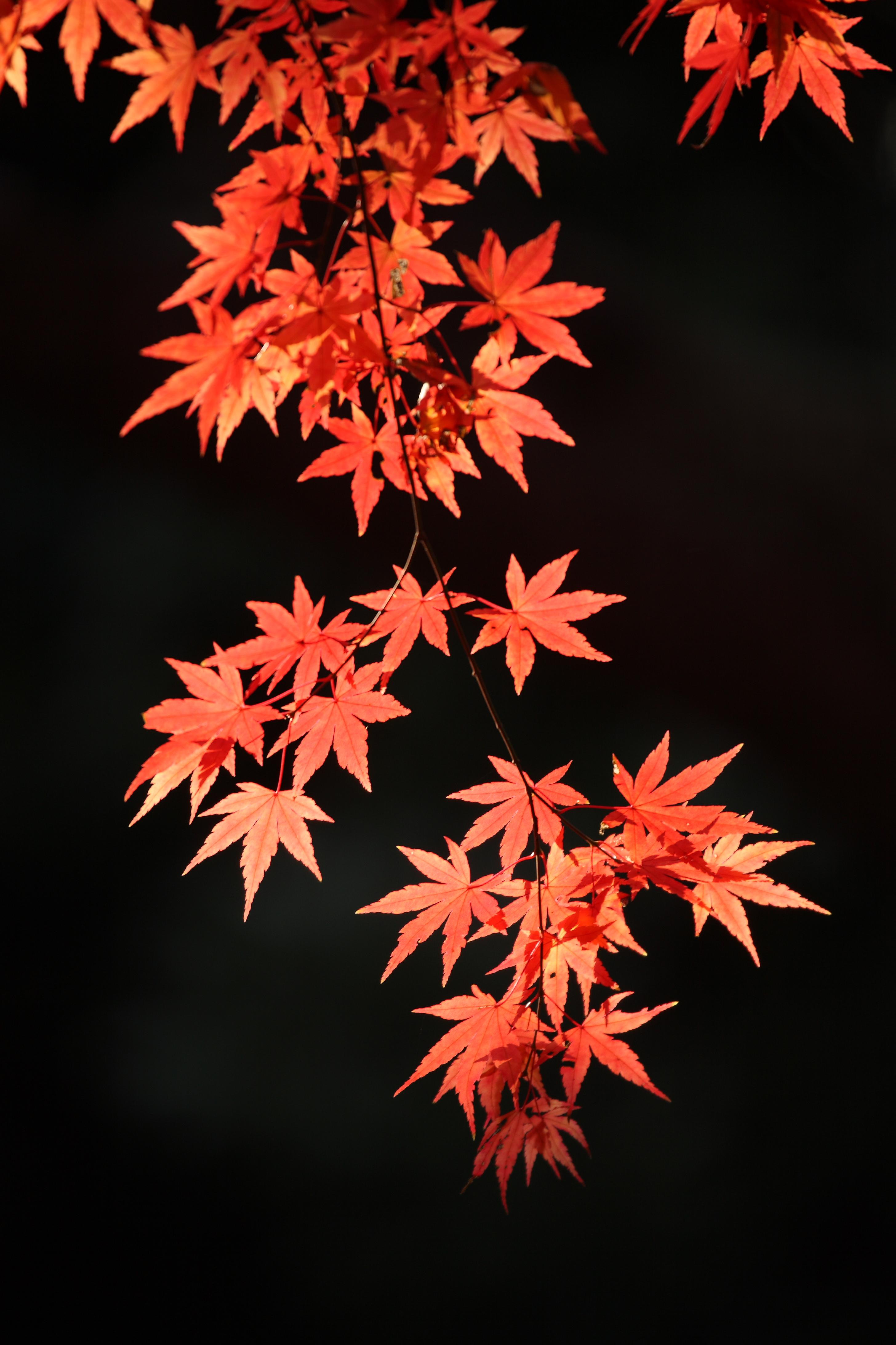 Maple Leaf Pathway Beautiful: Maple Leaves, Japanese Maple