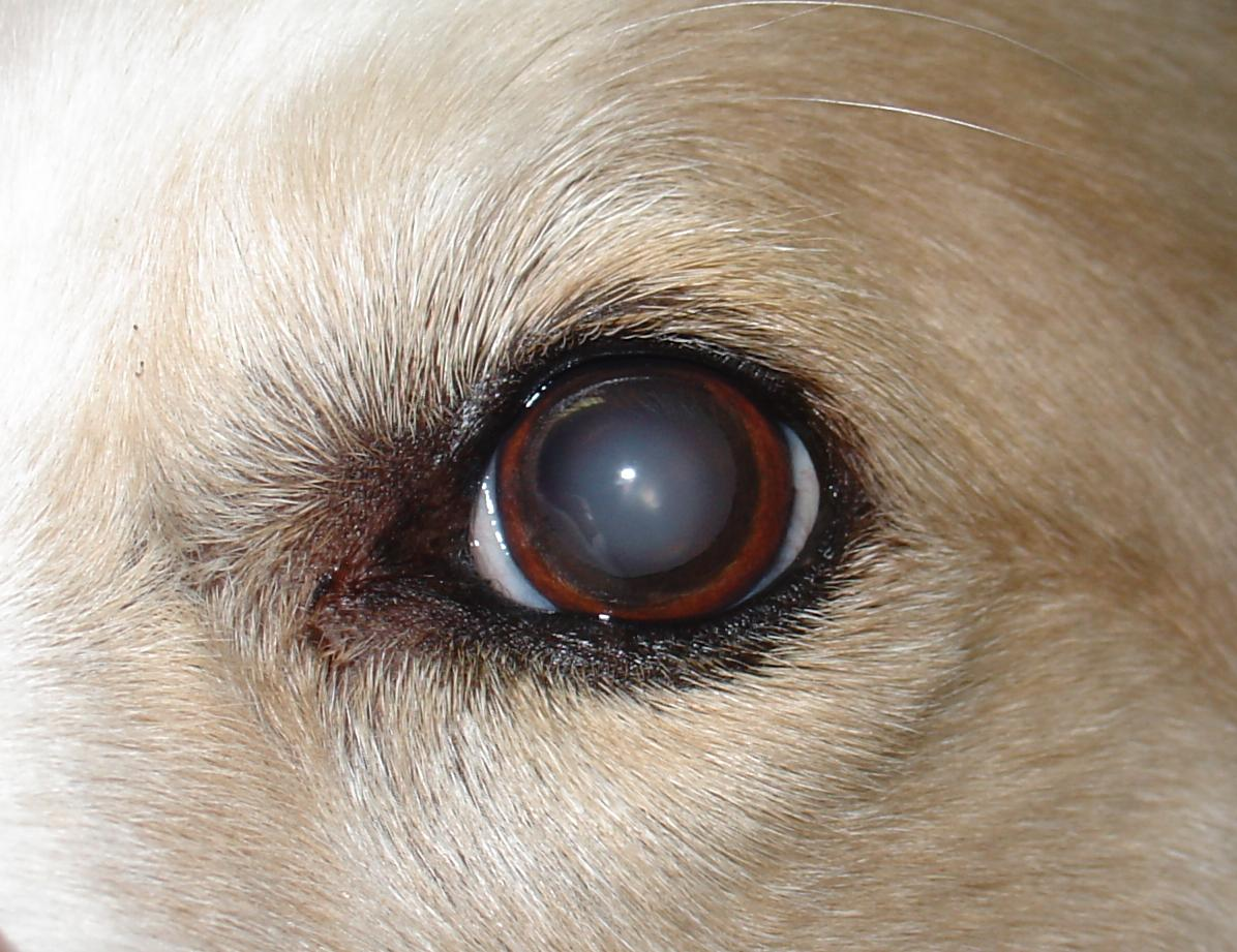 A Dog's Eye With Cataracts Close-up
