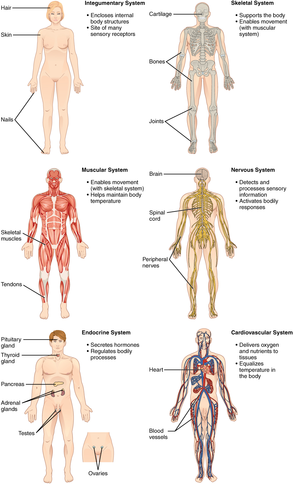 List of systems of the human body