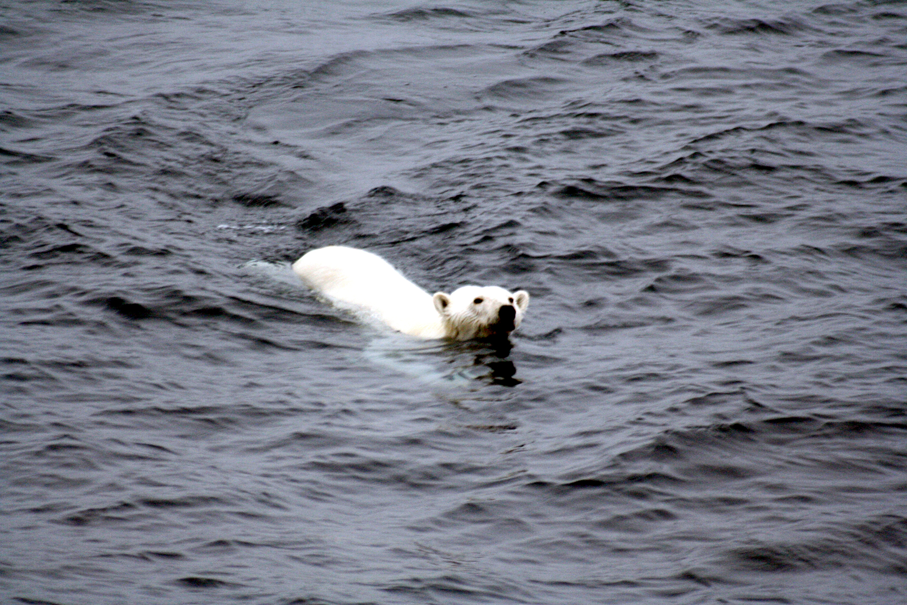 polar bear photo from M. Zinkova