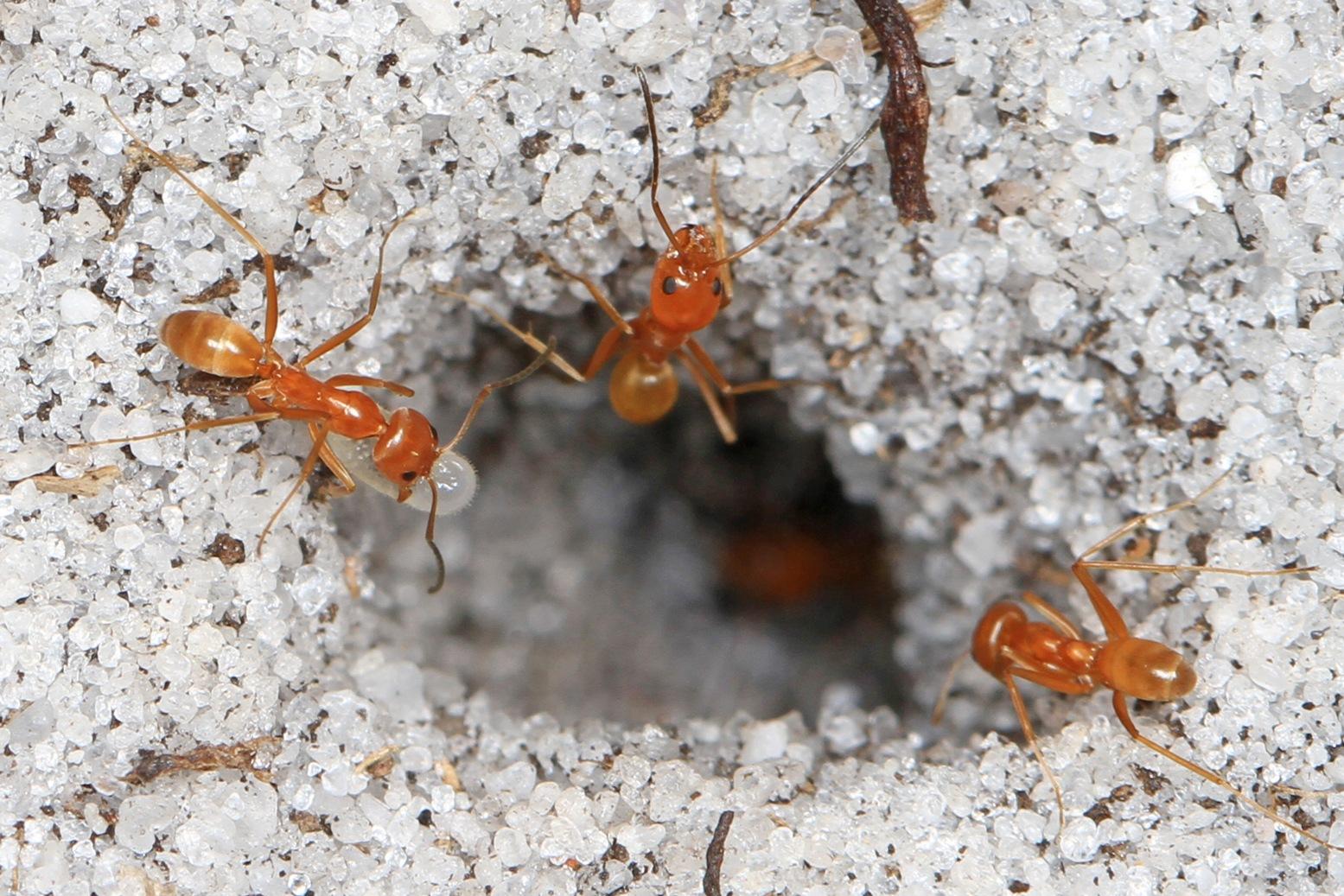 Pyramid Ant (Dorymyrmex bureni)