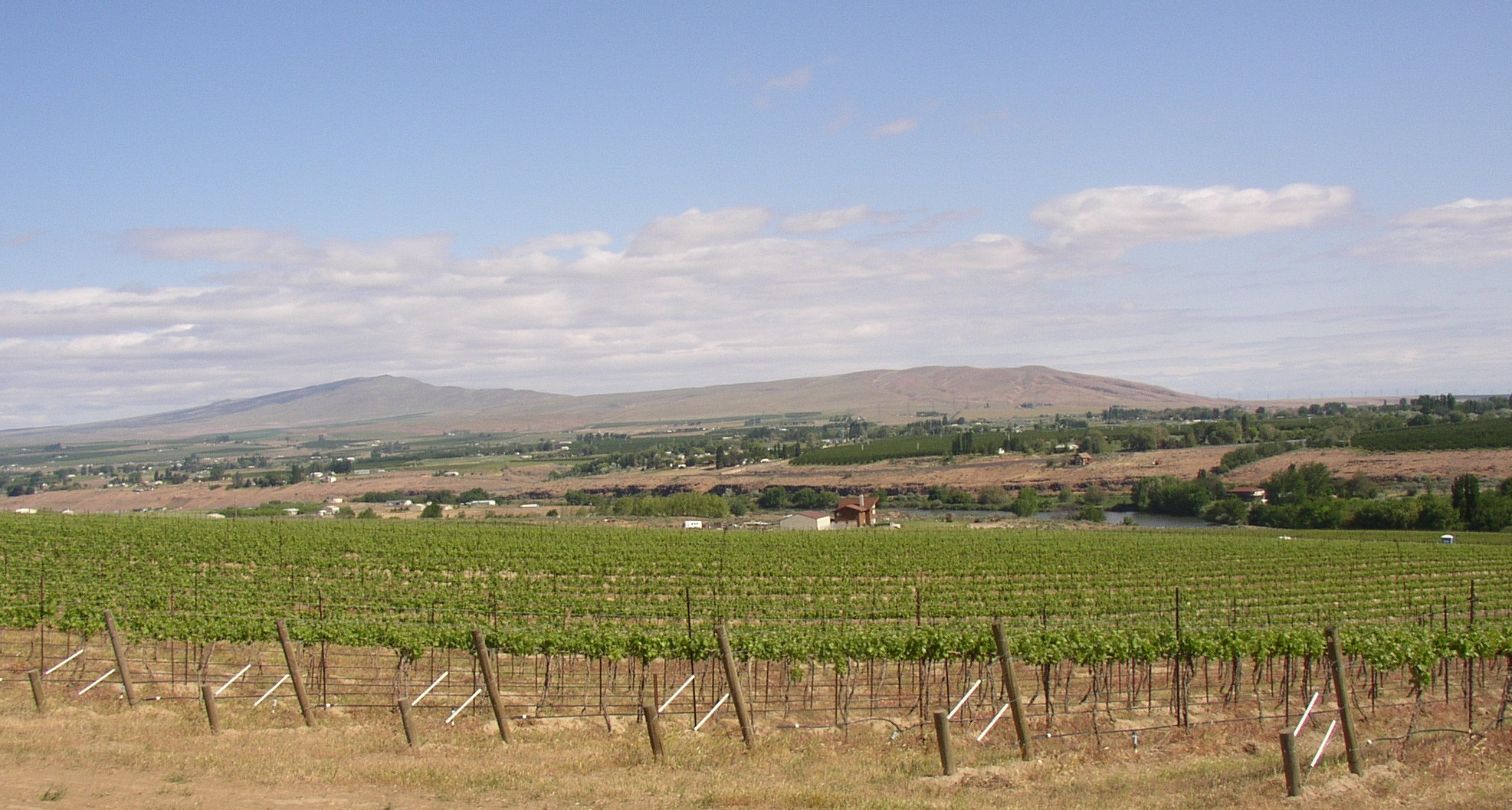 Rattlesnake Mountain as seen across Chandler Reach vineyard - 1.JPG