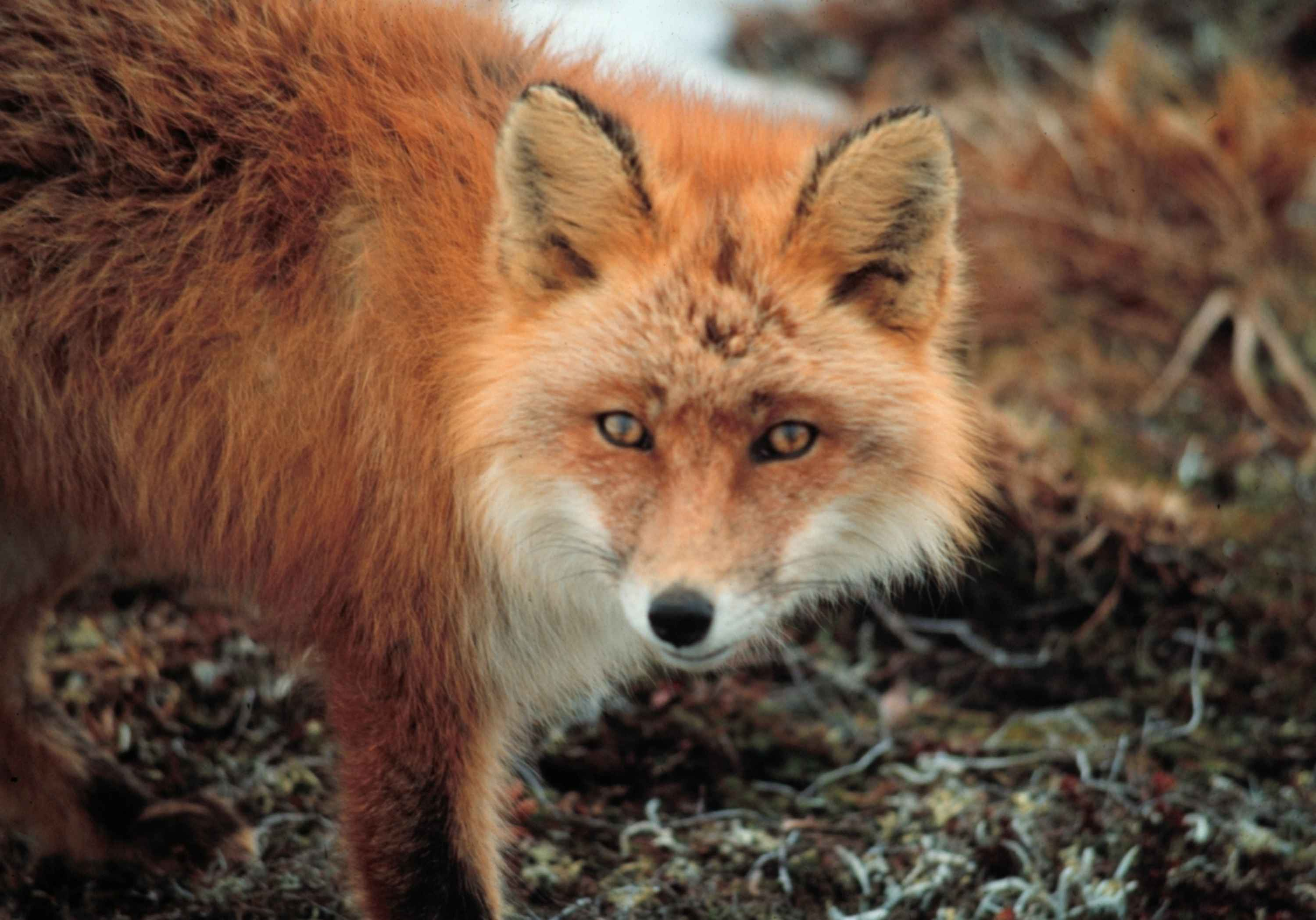 file red fox furbearing mammal jpg wikimedia commons