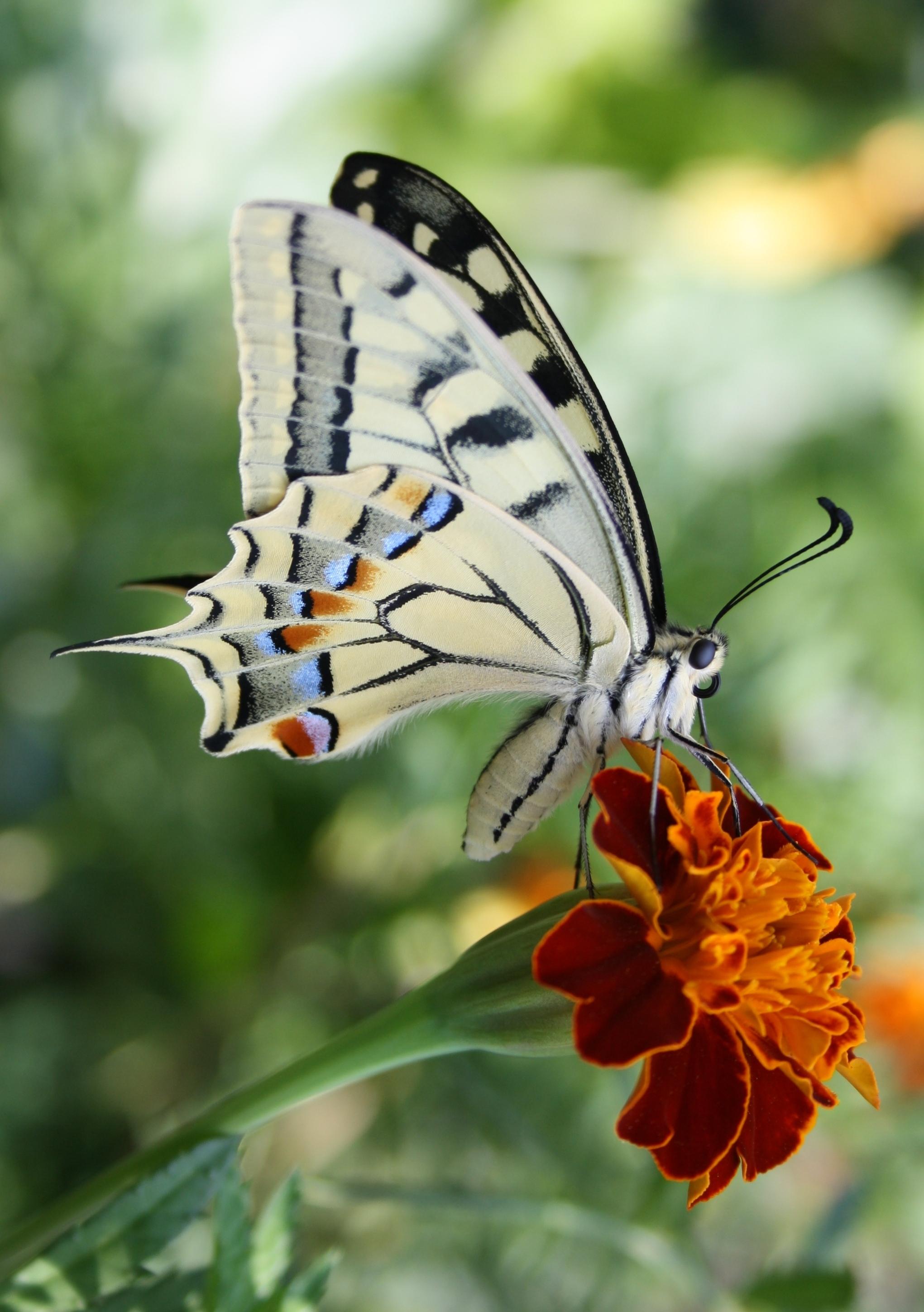 Schwalbenschwanz (Schmetterling) - Wikiwand