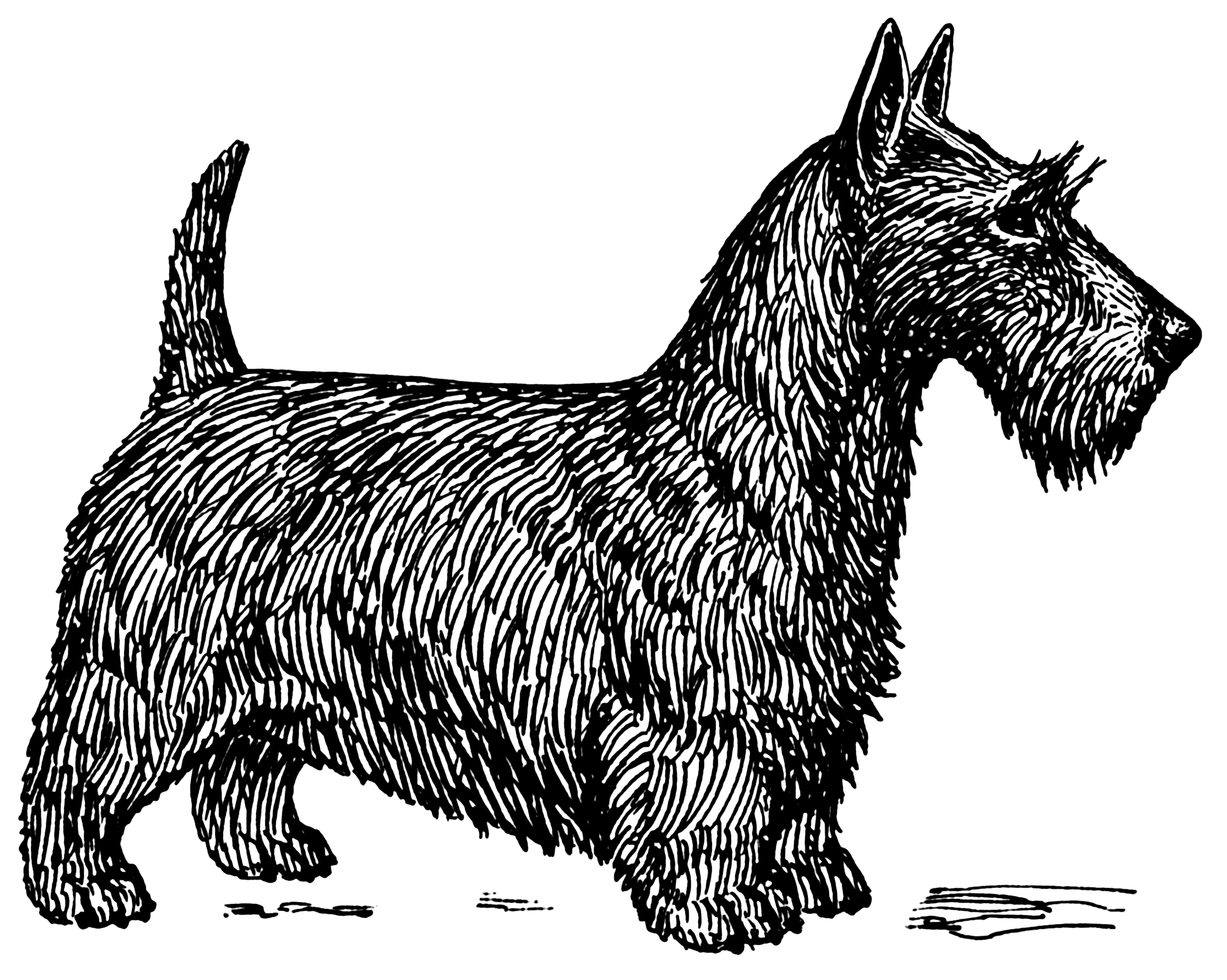 Filescotch Terrier Psf Png Wikimedia Commons