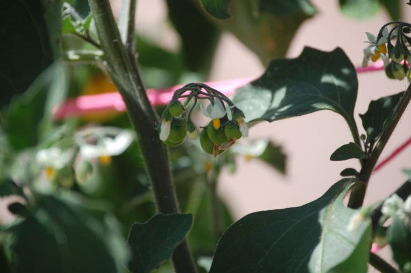 Солнечная ягода санберри