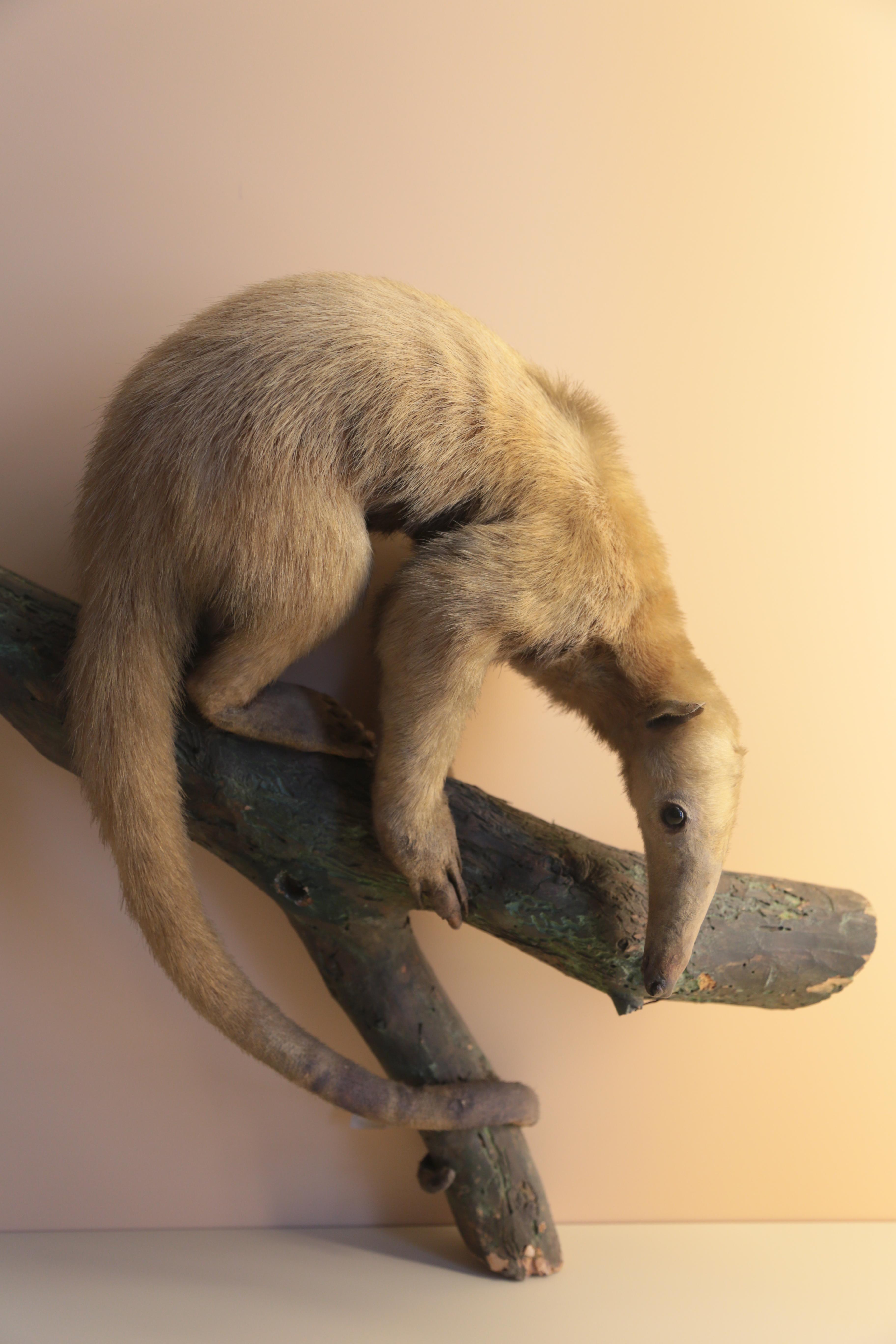 File Southern Tamandua Tamandua Tetradactyla Natural History